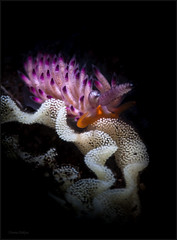 IMG_9705 (NonnaSP) Tags: animals bali behavior diving favorinuspacificus hunting macro nature nudibranch ocean sea seraya snoot tulamben underwaterphotography water