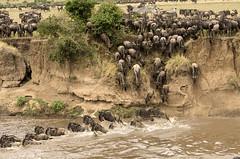 Wildebeest Coming Down Steep Slope to Cross the Mara River (John Hallam Images) Tags: wildebeest down slope steep cross crossing mara river masaimara kenya safari