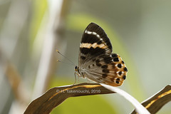 Praetaxila heterisa (?) (Hiro Takenouchi) Tags: riodinidae papua nature insect butterflies riodinid schmetterling wildlife indonesia butterfly
