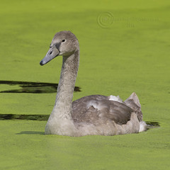 8218 Mute Swan Cygnet (Pete.L .Hawkins Photography) Tags: mute swan cygnet