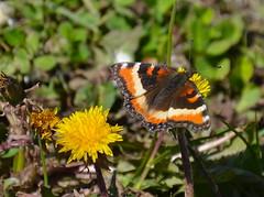 Milbert's Tortoiseshell (vietnamvera) Tags: canadianbutterflies butterfliesofcanada canadianlepidoptera canadaflorafauna canadianrockies canadianrockymountains