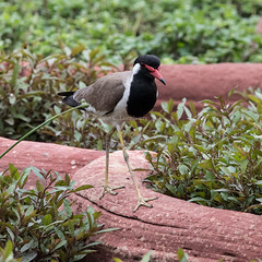 Red-wattled Lapwing (Vanellus indicus) (mesquakie8) Tags: bird lapwing feedinginthegarden adult redwattledlapwing vanellusindicus rwla agrafort agracounty uttarpradesh india 7853