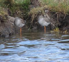 Redshanks (Turtlerangler) Tags: redshanks bird leightonmoss cumbria uk