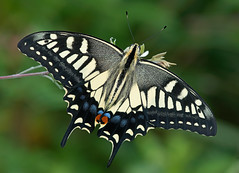 Old World Swallowtail (mishko2007) Tags: korea 105mmf28 swallowtail papiliomachaon