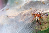 Hunting Spider?! (RiverCrouchWalker) Tags: spider male caterpillartent caterpillars browntailmoth larinioidescornutus furroworbweaver summer august 2016 canveyisland essex euproctischrysorrhoea