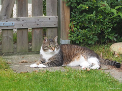 Favourite outdoor places, 2 - for Happy Caturday (Finn Frode (DK)) Tags: cats garden watch gate bastian mixedbreed domesticshorthair olympus omdem5 denmark animal pet cat outdoor happycaturday
