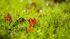 Red & Green (Future-Echoes) Tags: 135mm 2013 bokeh depthoffield dof grass green leaf light nature red