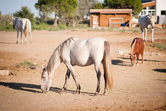 (anto291) Tags: lessaintesmariesdelamer camargue cavalli