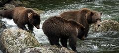 AJ2_8017 copy (alj70) Tags: alaska baranofisland brownbear insidepassage grizzlybear