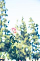 Eventually Beauty Withers (//ZERO) Tags: canon5dmarkii zeissplanart1450 zeissplanar1450zet bokeh worldflowers worldflower flowers flower rose dof depthoffield softtones fullframe