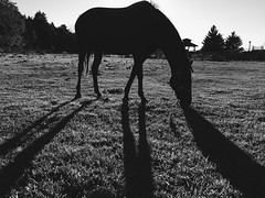 Just horsing around | 235/366 (emrold) Tags: 366the2016edition 3662016 day235366 22aug16 horse silhouette bw iphoneography vsco ottawa navan