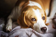Po. (Odd Jim) Tags: dogs dog beagle canon6d sigma animal cute puppy bokeh prime