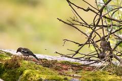 Pinsons des arbres (Coumebire/Arige) (PierreG_09) Tags: arige pyrnes pirineos couserans faune oiseau coumebire pinson pinsondesarbres fringillacoelebs commonchaffinch passriformes fringillids pinznvulgar peippo sureaurouge sureau sambucusracemosa