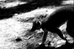 (pollution lumire) Tags: nikon nikonf fsanii ilforddelta100 blackwhitefilm blackwhite bwfp dukelemurcenter