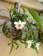Dendrobium christyanum var. stocky species orchid 7-16 (nolehace) Tags: dendrobium christyanum var stocky species orchid 716 summer nolehace sanfrancisco fz1000 flower bloom plant