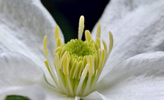 Clematis sp. (sonomoha) Tags: sonomoha flower fleur macro plante plant clematis spring printemps closeup nature uk nikon nikonphotography tokina tokinaphotography tokina100mm28 couleurs colours garden jardin