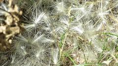 1 Like Feathers (Mertonian) Tags: video simplicity seeds weeds lookingdown wind experiment canonpowershotsx60hs canon powershot sx60hs mertonian creative robertcowlishaw beauty dancing