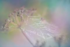 diamond dew (olli_loo) Tags: dew diamond bokeh bokehlicious spiderweb web pastel colorpastel autumn autumnbeauty bubblebokeh promura promura135 135mm softlens softbokeh softcolor softness softfocus tenderness manual manuallens manualfocus macro macroflowerlovers magic magicforest macrodreams serene