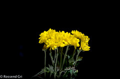 Yellow (rossendgricasas) Tags: yellow flowers color flower beautiful nikon garden barcelona lightroom catalonia tamrom