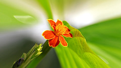 Cottage Marigold (Johnnie Shene Photography(Thanks, 1Million+ Views)) Tags: cottagemarigold marigold orangecolour summer day lighteffect single plant flower flowering floral flora interesting distorted korea depthoffield awe wonder beautiful nature natural wild wildlife livingorganism tranquility tranquilscene adjustment fulllength highangle macro closeup magnified photography horizontal outdoor colourimage fragility freshness nopeople foregroundfocus leaf petals corolla canon eos600d rebelt3i kissx5 tamron 90mm f28 11 lens