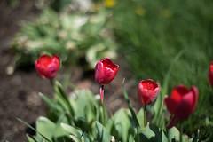 Tulips (trustytrout) Tags: adirondacks flower highpeaks keenevalley nature newyork northeast plant