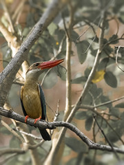 Stork-billed Kingfisher (sunnyoberoi) Tags: kingfisher wildbird bird nature travel wildlife ranthambhorenationalpark rajasthan forest safari thrill profile storkbilledkingfisher wildlifephotgraphy