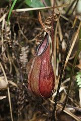Nepenthes tentaculata (Boazng) Tags: nepenthes pticher plant carnivorous mt kinabalu tentaculata