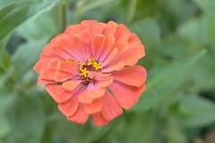 Zinnia (davekrovetz) Tags: flower outdoor plant gardening nature zinnia leica boken gardens nofilter no filter