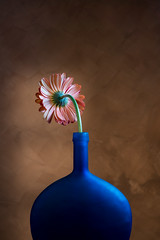 Daisy From Behind (shutterclick3x) Tags: daisy gerber flower blue vase frankloose