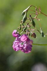ckuchem-7980 (christine_kuchem) Tags: bach blte springkraut ufer wildpflanze drsiges gewsser nichtheimisch rosa