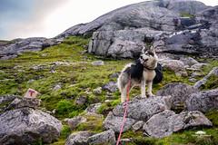 Agis admiring the surroundings (huddart_martin) Tags: norge norway hiking hike camping trekking mountains dog alaskanmalamute malamute nature landscape sonya99