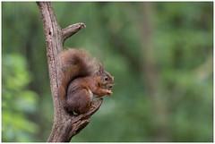 Red Squirrel in the rain ....  -  Eekhoorn in de regen (Sciurus vulgaris) ..... (Martha de Jong-Lantink) Tags: 2016 boshutclinge clinge eekhoorn gewoneeekhoorn redsquirrel rodeeekhoorn sciurusvulgaris stichtinghetzeeuwselandschap zeeland