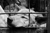 Dog in a Cage (vonbueren) Tags: hund käfig eingesperrt traurig schmerz tierquälerei essen indonesien sulawesi cage dog anjing pain schwarzweiss fell schnauze kopf warten leiden südostasien