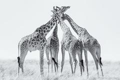 Giraffe x 4 (Sue MacCallum-Stewart) Tags: giraffe kenya maasaimara blackwhite animals wildlife nature four