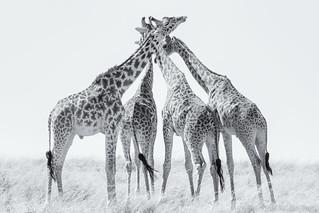 Giraffe x 4