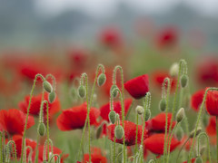 De belles promesses **---+ (Titole) Tags: poppies buds many titole nicolefaton explored unanimouswinner thechallengefactory