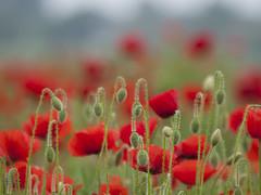 De belles promesses * (Titole) Tags: poppies buds many titole nicolefaton explored