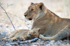 DSC_4062.JPG (manuel.schellenberg) Tags: namibia etosha animal nationalpark lion