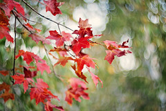 """""""And the sun took a step back, the leaves lulled themselves to sleep and Autumn was awakened."""" ~Raquel Franco~ (Sandra H-K) Tags: autumn autumnleaves leaves branches red green bokeh bokehwednesday bokehlicious nature outside outdoors day daytime helios402 september dof depthoffield dreamy"""