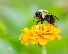 bees and flowers (dbking2162) Tags: indiana insects insect bee flowers flower pollination wildlife nature macro detail yellow green outside
