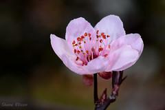 Single Bloom. Plum Blossom (.Shane15) Tags: plumblossom