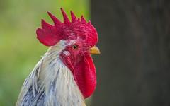 rooster (30) (Vlado Fereni) Tags: rooster roosters animals animalplanet birds zagorje hrvatska hrvatskozagorje croatia nikond600 nikkor8020028