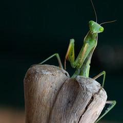 Mantis religiosa 2 (Jeaunse23) Tags: mantis preyingmantis mantisreligiosa macro insects france