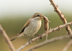 Red-backed Shrike - Lanius collurio - with Pygmy Shrew - Sorex minutus (Gary Faulkner's wildlife photography) Tags: redbackedshrike sussexbirds
