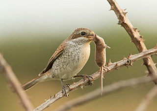 Red-backed Shrike - Lanius collurio - with Pygmy Shrew - Sorex minutus