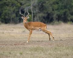 Impala Pose (perkster24) Tags: impala wildlife wildlifephotography wildanimal aberdarenationalpark kenya africa african gamedrive nature naturephotography conservation antelope horns