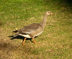 Greater White-fronted Goose (rudeyard) Tags: greaterwhitefrontedgoose anseralbifrons gwfg anseriformes hatchyear hy firstyear
