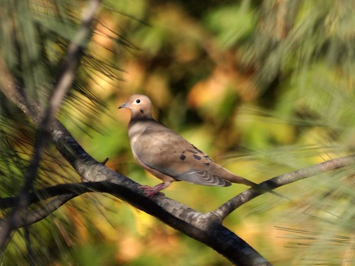 """Mourning Dove • <a style=""""font-size:0.8em;"""" href=""""http://www.flickr.com/photos/59465790@N04/8156837489/"""" target=""""_blank"""">View on Flickr</a>"""