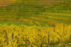 IMG_6422.jpg (il_baro) Tags: vineyard italia vineyards vigne wineyard vite friuli wineyards manzano viti vigna friuliveneziagiulia fril vinia collio vignis vinias
