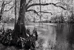 Natural Florida - Cypress Knees (johnandmary.F) Tags: trees nature water florida swamp cypress wetland cypressknees